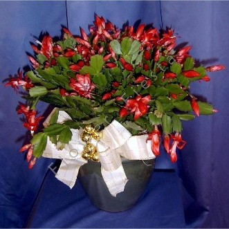 Christmas cactus prolific blooming plants