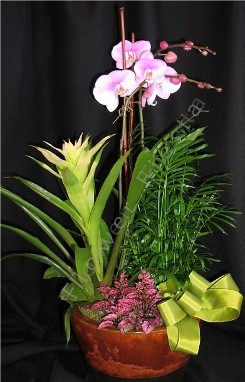 Tropical orchid plant combo medium