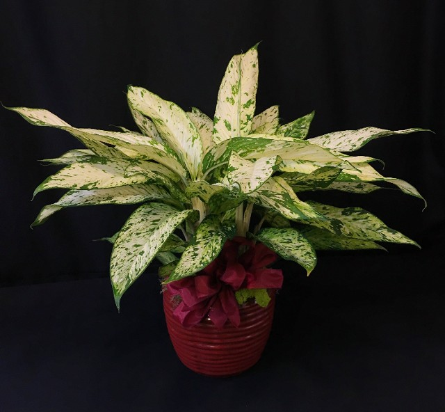 Tropical Dieffenbachia Plant in Ceramic Pot