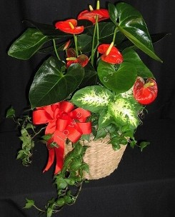 Anthurium Planter Garden
