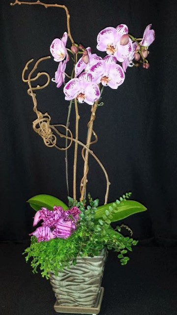 phalaenopsis orchid dressed with mini plants