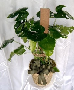 Green Plant Philodendron