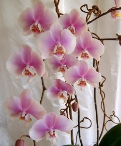 Large Phalaenopsis Pink Tones Orchid