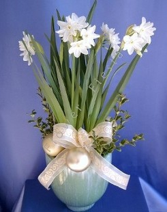Fragrant Narcissus Paperwhites