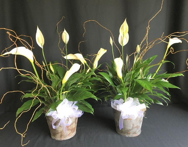peace lily plants for funeral display